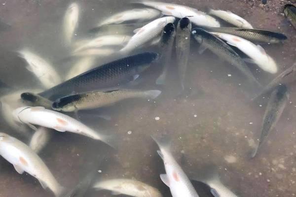 Cá lồng ở Thanh Hóa chết cả loạt trên sông Chu huyện Thọ Xuân